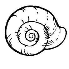 Desenho de um caracol do mar para colorir