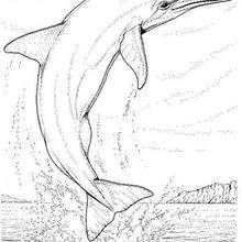 Desenho de um golfinho adulto para colorir