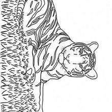 Desenho de um Tigre para colorir