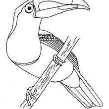 Desenho de um Tucano para colorir