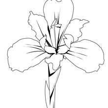 Desenho da flor íris para colorir