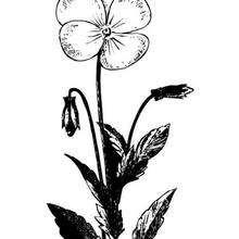 Desenho da flor amor-perfeito para colorir