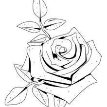 Desenho de uma bela rosa para colorir