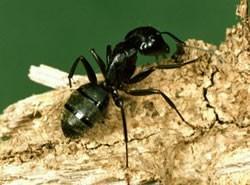 Como desenhar uma formiga