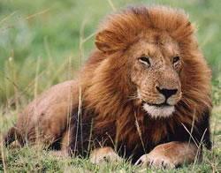 Como desenhar um Leão