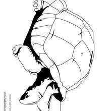 Desenho de uma tartaruga gigante de Aldabra para colorir
