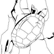 Desenho de uma tartaruga gigante para colorir