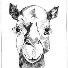 Desenho da cara de um dromedário para colorir