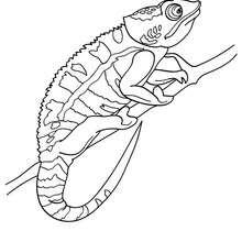 Desenho de um camaleão para colorir online