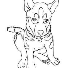 Desenho de um Husky para colorir