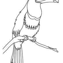 Desenho de um Tucano para colorir online