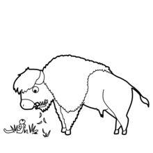 Bisão pastejo