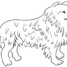 Desenho da Collie para colorir