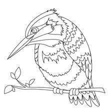 Desenho de um Martim-pescador para colorir